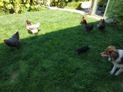 Ridule avec ses poules